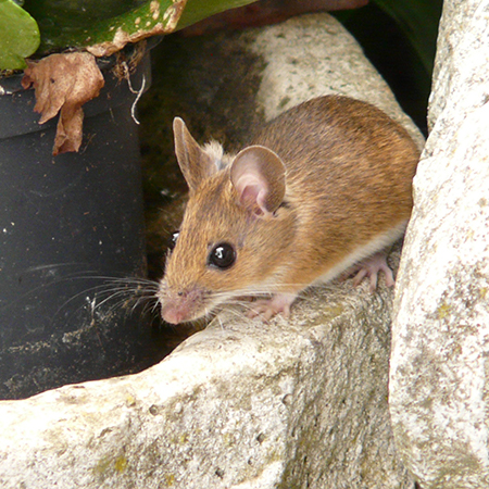Wildlife Removal and Best Rodent Control